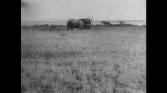 AFRICA: 1930s: rhino watch from grass landscape. Birds follow rhinos.