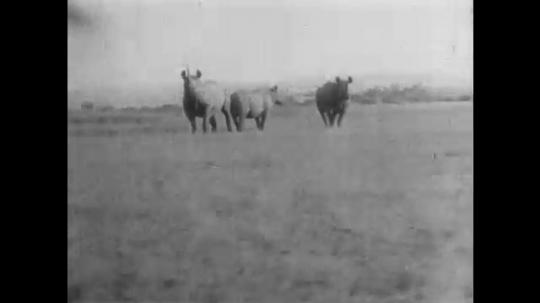 AFRICA: 1930s:Expedition vehicle crew film rhino and animals.  Rhino watch from grass landscape. Birds follow rhinos.