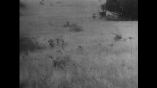 AFRICA: 1930s: expedition crew film lions in grass landscape. Lion charges towards expedition vehicle