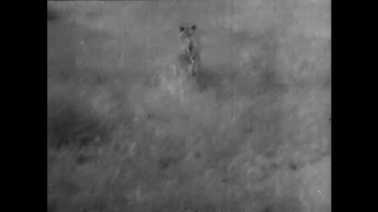 AFRICA: 1930s: expedition crew film lions in grass landscape. Lion charges towards expedition vehicle. Man shoots lioness with rifle.