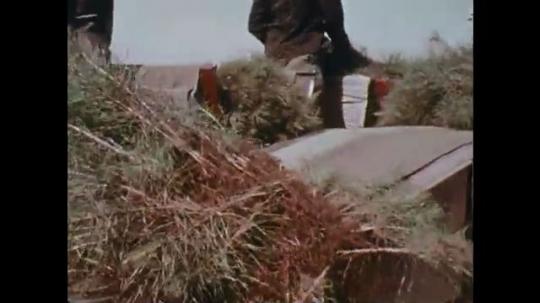 UNITED STATES: 1970s: men pick crops in field. Man prepares crops in factory. Plants on conveyor belt