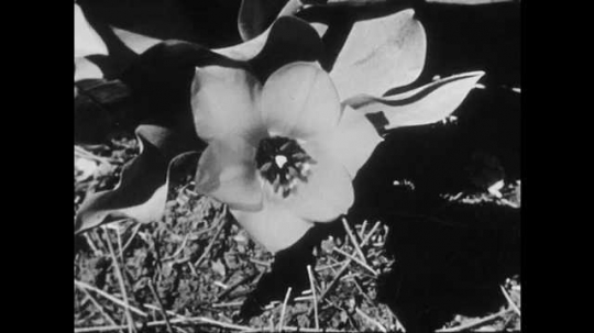 1950s: UNITED STATES: hand holds flower. Finger points to sepals