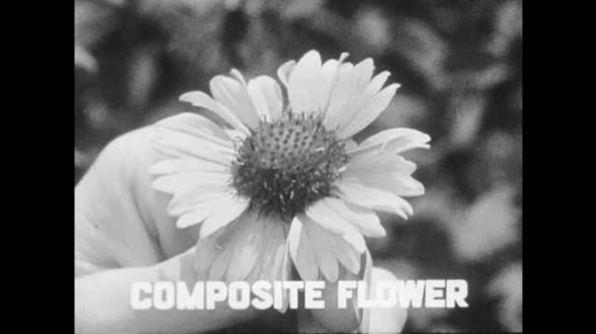 1950s: UNITED STATES: daisy as an example of a composite flower. Tweezers by flower. Flower flows in breeze