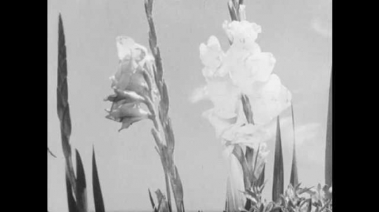 1950s: UNITED STATES: flowers in sunshine. Schematic drawing of pistils in flower. Stamen in flower. Pollen transfer in flowers