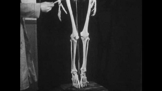 1950s: Man gestures to legs and feet of model skeleton. Man gestures to skull of model skeleton. Man gestures to shoulders, arms, hands, then hips, legs and feet.