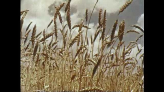 1950s: Wheat plants sway in breeze. Field of golden wheat plants. Seeds at tops of wheat plants. Hands display individual wheat seeds.