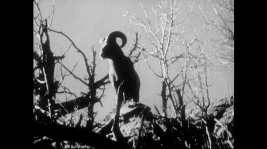 1940s: Ram stands on edge of cliff. Ram chews on food. Ram walks across rocky slope.