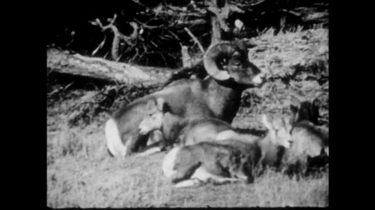 1940s: Group of rams, ewes and lambs lay on mountainside. The group grazes on mountainside. Ewe sits down while eating.
